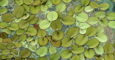 TVA officials treating Salvinia at Guntersville